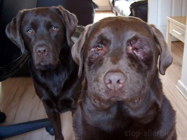 Супрастин для собак  противоаллергический препарат быстрого действия