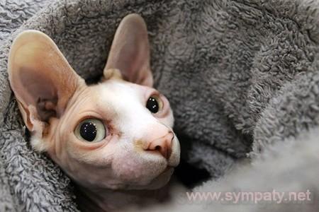 породы кошек без аллергии для человека